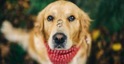 Hund mit Verlobungsringen